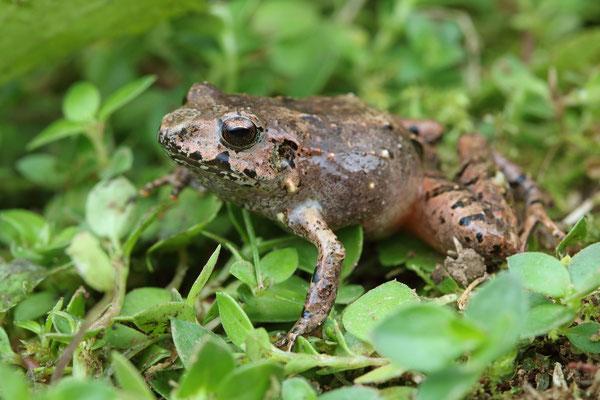 Greg's Robber Frog (Craugastor greggii)
