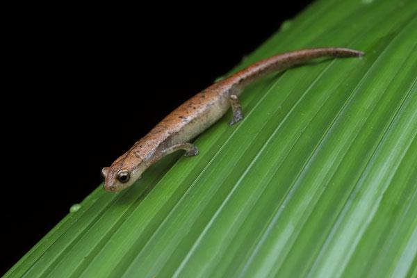 Southern Banana Salamander (Bolitoglossa occidentalis)