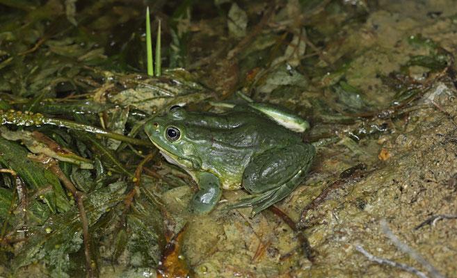 Milos Water Frog (Pelophylax sp.)