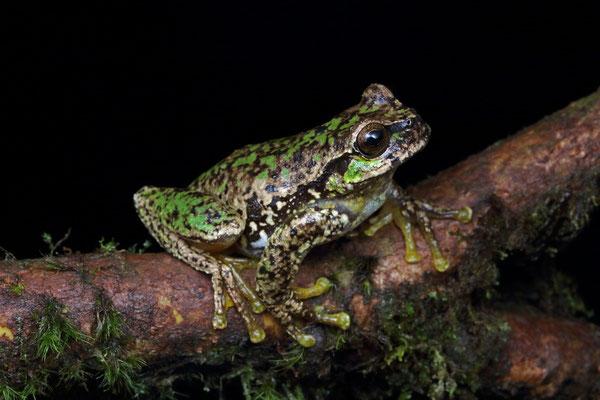 Las Palmas Spikethumb Frog (Plectrohyla quecchi)
