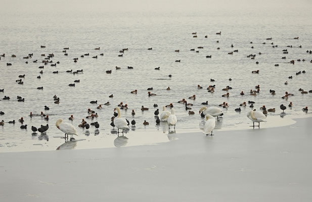 Swans, Red-crested Pochards and Eurasian coots resting along the ice.