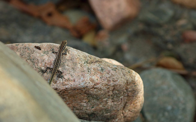 Tyrrhenian Wall Lizard (Podarcis tiliguerta) juvenile