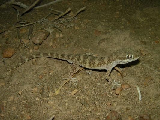 Baluch Rock Gecko (Bunopus tuberculatus)