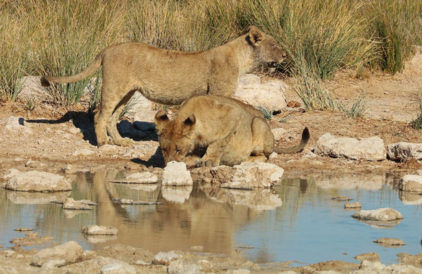 Two Lions (Panthera leo) going for a drink at the Charitsaub waterhole.