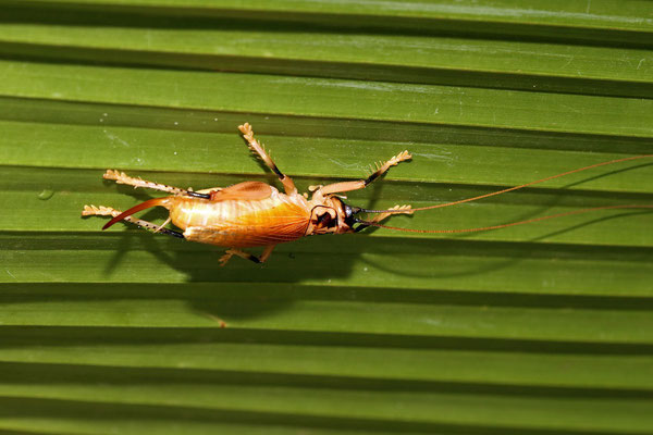 Seychelles Palm Cricket (Prosopogryllacris sechellensis)