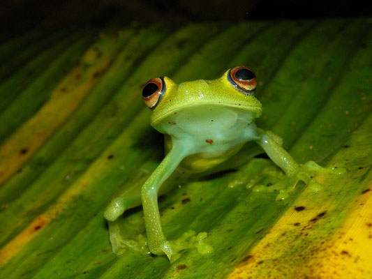 rough-skinned green treefrog (Hypsiboas cinerascens)