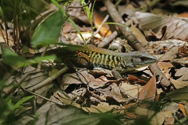Rainbow Whiptail (Holcosus undulatus)