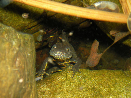 Cheeky Crested Newt (Triturus cristatus) male