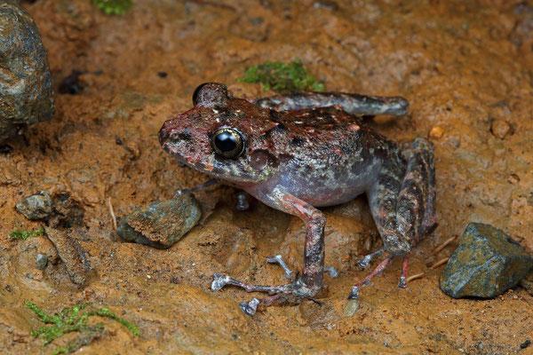 Xucaneb Robber Frog (Craugastor xucanebi)