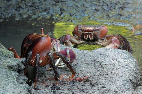 Mangrove Crabs (Cardiosoma carnifex)
