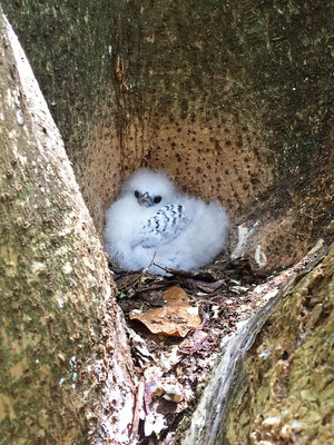 white-tailed tropicbird (Phaethon lepturus) chick in nest.
