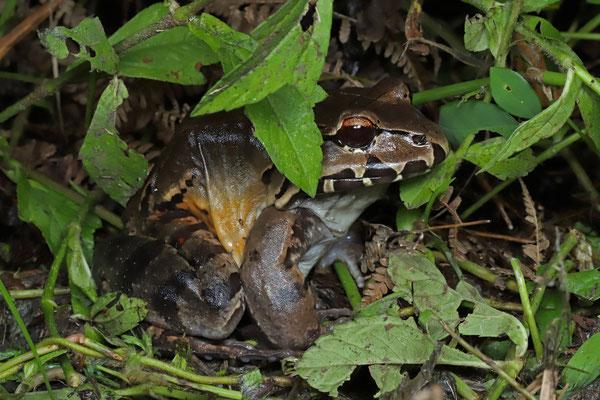 Smoky Jungle Frog (Leptodactylus savagei)