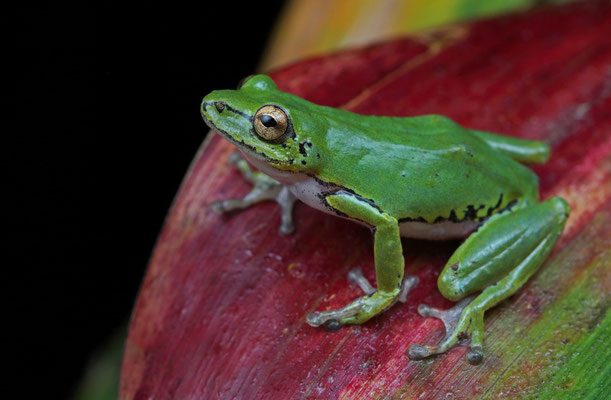 Cinnamon-bellied Reed Frog (Hyperolius cinnamomeoventris) female