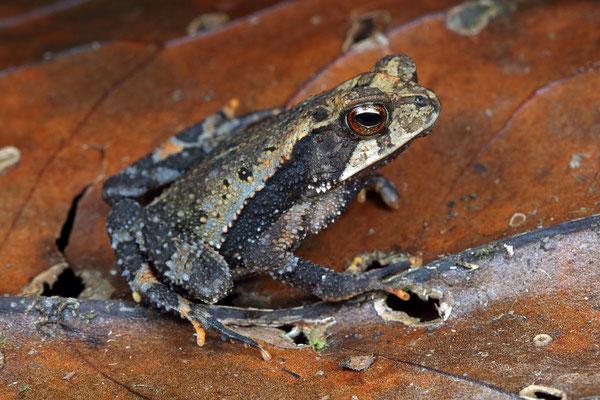 Cuchumatan Golden Toad (Incilius aurarius)