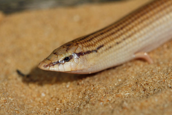 Wedge-snouted Skink (Chalcides sepsoides) displatying the snout highly suitable for digging in loose soil.