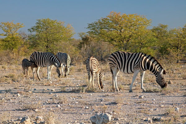 Burchell's Zebra (Equus quagga burchelli) grazing in the afternoon sun.