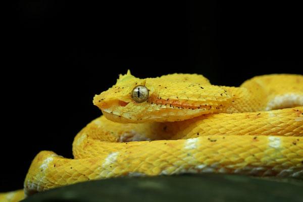 The fabulous Oropel: Eyelash Palm Pitviper (Bothriechis schlegelii)