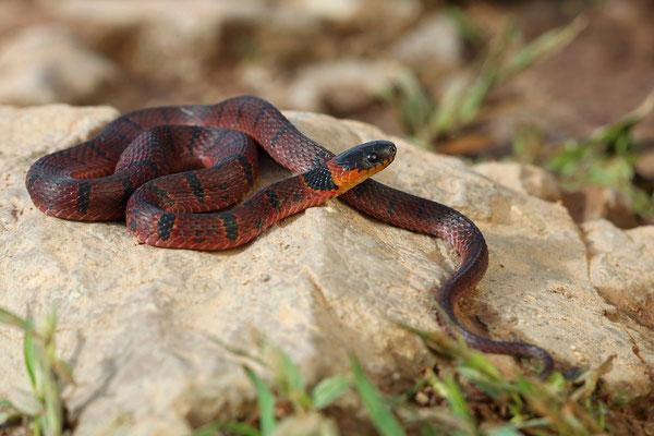 Redback Coffee Snake (Ninia sebae)