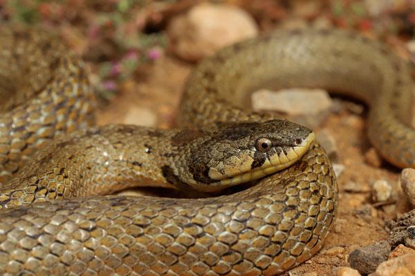 Algerian False Smooth Snake (Macroprotodon cucullatus)