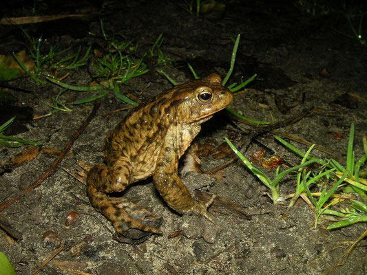 Common Toad (Bufo bufo) male on the look-out.