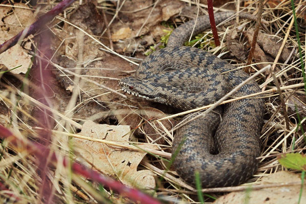 Adder (Vipera berus) male, Nuremberg, Germany, March 2016