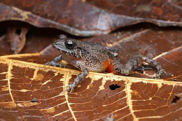 Bransford's Litter Frog (Craugastor bransfordii)