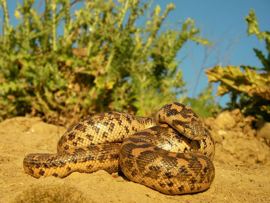 Sandboa (Eryx jaculus), 80cm adult, Limnos, Greece, May 2010