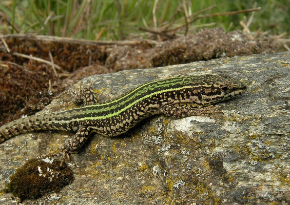Bocage's Wall Lizard (Podarcis bocagei) male, Galicia, Spain, May 2012