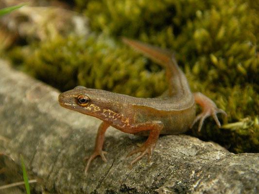 Palmate Newt (Lissotriton helveticus) landphase male