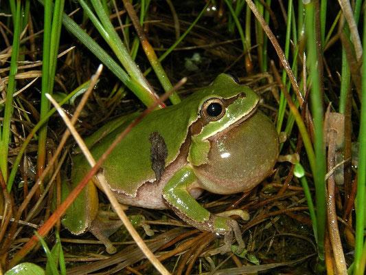 Eastern Tree Frog (Hyla orientalis) calling male