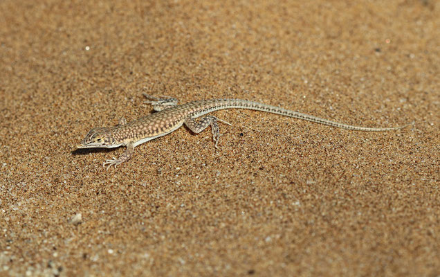 Reticulated Desert Lizard (Meroles reticulatus)