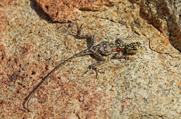 Namib Rock Agamas (Agama planiceps) juvenile