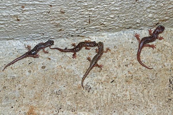Sette Fratelli Cave Salamanders (Speleomantes sarrabusensis)