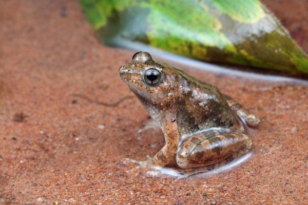 Natal Puddle Frog (Phrynobatrachus natalensis)