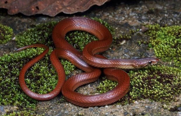 Tearful Pine-Oak Snake (Rhadinella lachrymans)
