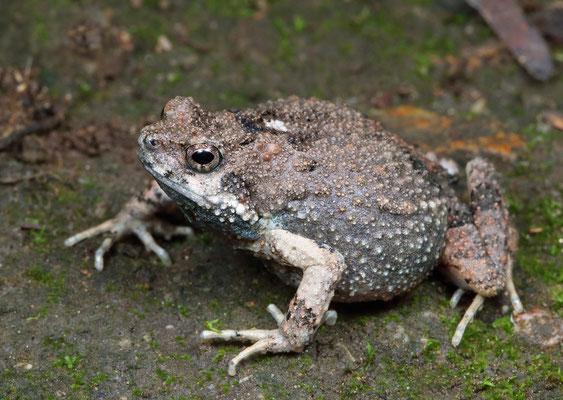 Túngara Frog (Engystomops pustulosus)