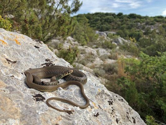 Western Whip Snake (Hierophis viridiflavus carbonarius)