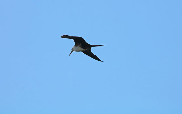 Magnificent Frigatebird (Fregata magnificens) juvenile