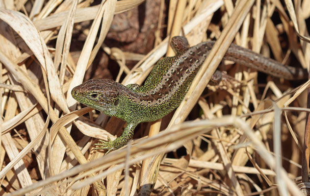 Sand Lizard (Lacerta agilis) male basking