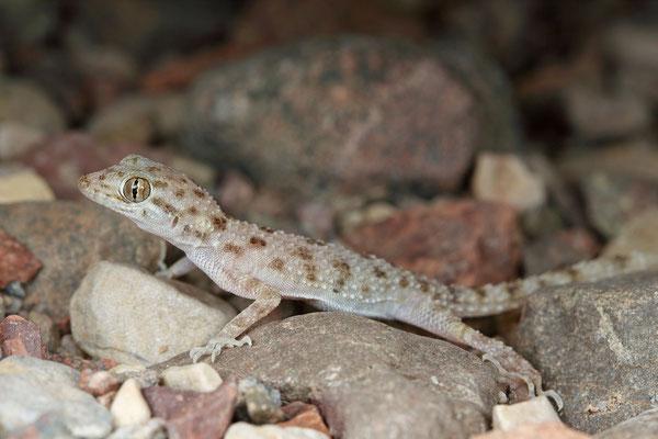 Keeled Rock Gecko (Cyrtopodion scabrum)