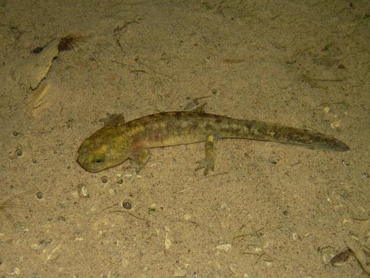Oriental Fire Salamander (Salamandra infraimmaculata semenovi) larva