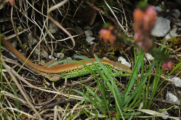 Sand Lizard (Lacerta agilis) erythronotus male