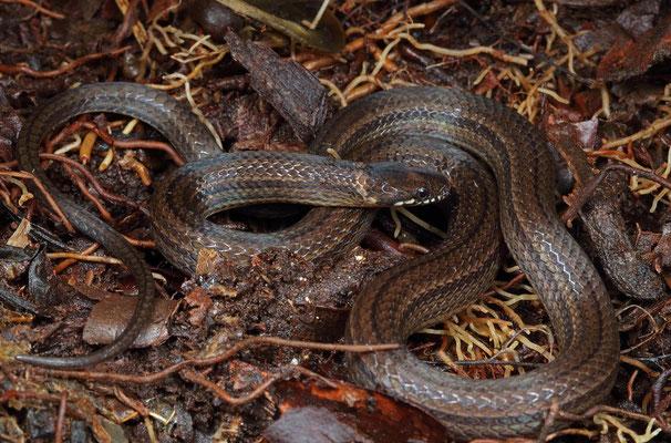 Hempstead's Pine Wood Snake (Rhadinella hempsteadae)