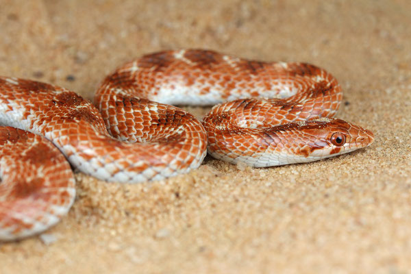 Crowned Leaf-nosed Snake (Lytorhynchus diadema), even more orangy specimen