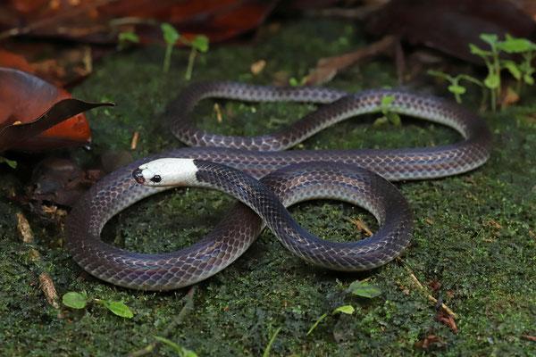 White-headed Snake (Enuliophis sclateri)
