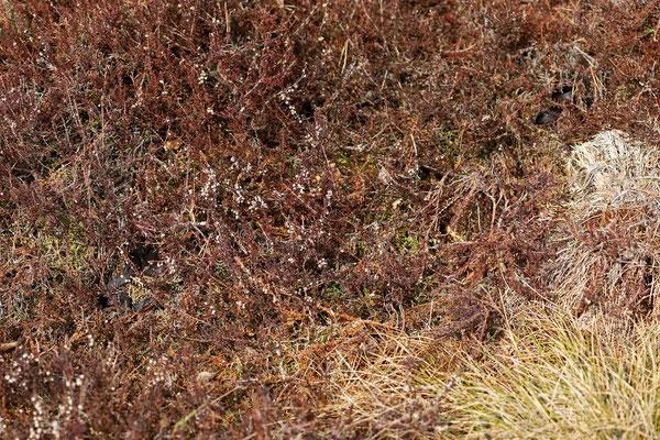Adder (Vipera berus) males