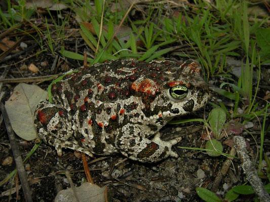 Natterjack Toad (Epidalea calamita)