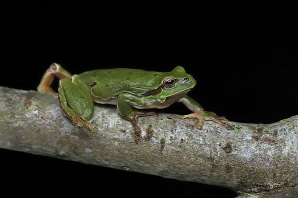 Tree Frog (Hyla arborea) on the move.