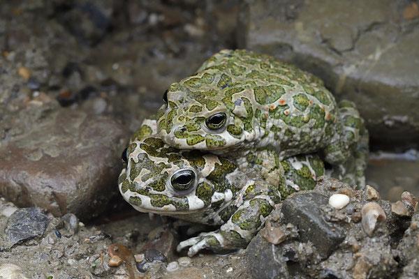 Green Toad (Bufotes viridis) amplexus