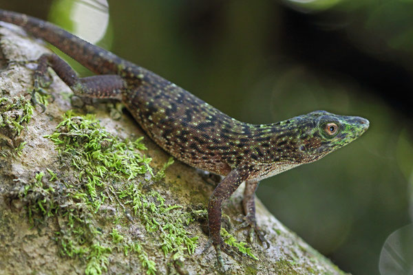 Neotropical Green Anole (Norops biporcatus)